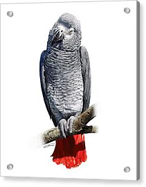 African Grey Parrot C Acrylic Print by Owen Bell