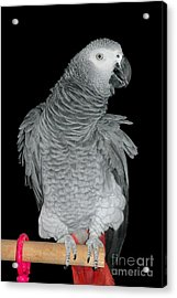 Acrylic Print featuring the photograph African Grey Parrot by Debbie Stahre