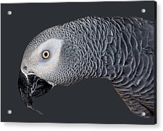 African Grey Parrot Acrylic Print by Donna Proctor