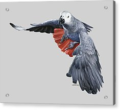 African Grey Parrot Flying Acrylic Print by Owen Bell