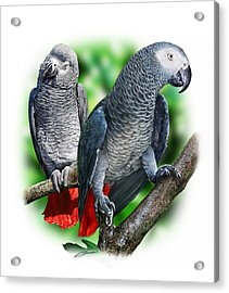 African Grey Parrots A Acrylic Print by Owen Bell