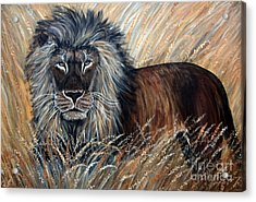 African Lion 2 Acrylic Print by Nick Gustafson