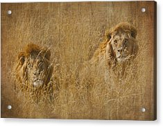 Acrylic Print featuring the tapestry - textile African Lion Brothers by Kathy Adams Clark