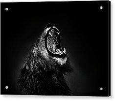 African Lion Male Yawning Showing Fierce Canine Teeth Acrylic Print