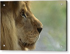 African Lion Panthera Leo Male Portrait Acrylic Print by Zssd