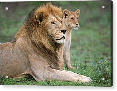 African Lion Panthera Leo With Its Cub Acrylic Print by Panoramic Images