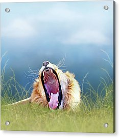 African Lion Yawning In Tall Grass Acrylic Print