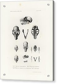Acrylic Print featuring the drawing African Mammal Skulls by Hugo Troschel
