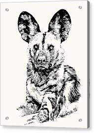 African Painted Dog Making Eye Contact Acrylic Print
