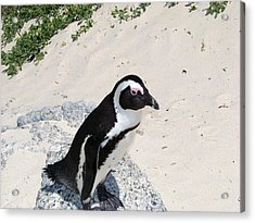 African Penguin Acrylic Print by Evelyn Patrick