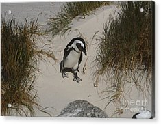 African Penguin On A Mission Acrylic Print by Bev Conover