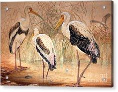 African Tantalus Pseudotantalus Ibis Acrylic Print