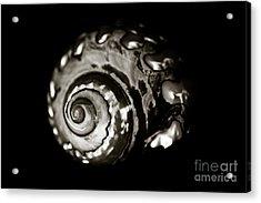 African Turbo Shell - Sepia Tone Acrylic Print by Charmian Vistaunet