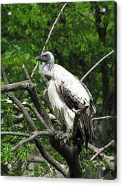 African Vulture Acrylic Print by George Jones