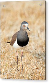 African Wattled Lapwing Vanellus Acrylic Print by Panoramic Images