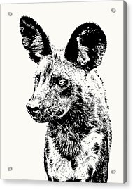 African Wild Dog On Alert Acrylic Print
