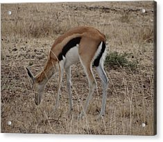 African Wildlife 4 Acrylic Print