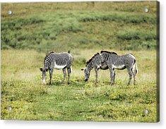 African Zebras Acrylic Print