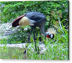 Afternoon Snack -  One Grey Crested Crane Acrylic Print