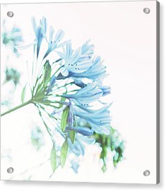Acrylic Print featuring the photograph Agapanthus 1 by Cindy Garber Iverson