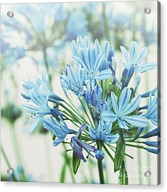 Acrylic Print featuring the photograph Agapanthus 2 by Cindy Garber Iverson