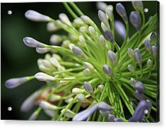 Agapanthus, The Spider Flower Acrylic Print by Yoel Koskas