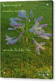 Agapanthus Dawn Acrylic Print
