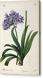 Agapanthus Umbrellatus Acrylic Print by Pierre Redoute