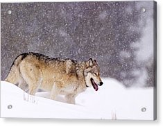 Agate Wolf 113m In Falling Snow Acrylic Print