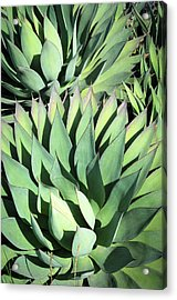 Acrylic Print featuring the photograph Agave by Catherine Lau
