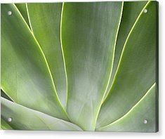 Agave Leaves Acrylic Print by Rich Franco