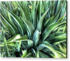 Acrylic Print featuring the photograph Agave by Lynn Geoffroy