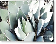 Acrylic Print featuring the photograph Agave Plant Leaves by Andrea Hazel Ihlefeld