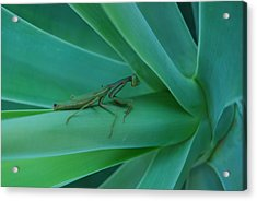 Agave Praying Mantis Acrylic Print