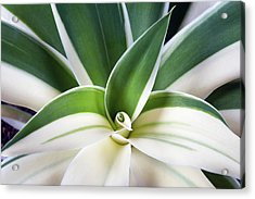 Acrylic Print featuring the photograph Agave Ray Of Light by Catherine Lau