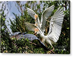 Aggression Between Cattle Egrets And Tricolored Heron Acrylic Print