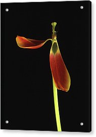 Acrylic Print featuring the photograph Aging Tulip by Art Shimamura