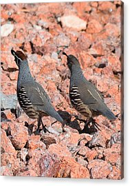 Ahhhh My Little Desert Quail Acrylic Print by John Glass