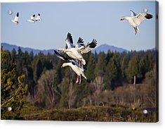 Air Acrobatics Acrylic Print