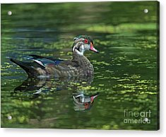 Acrylic Print featuring the photograph Aix Sponsa.. by Nina Stavlund
