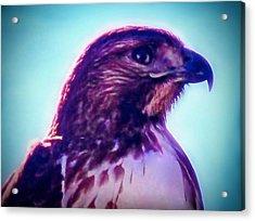 Ak-chin Red-tailed Hawk Portrait Acrylic Print