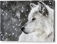 Akela The Wolf Acrylic Print by Andrew Wells