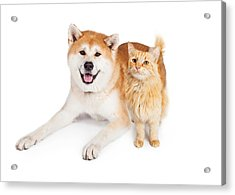 Akita Dog And Tabby Cat Over White Background Acrylic Print by Susan Schmitz