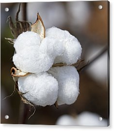 Alabama Cotton Boll Acrylic Print