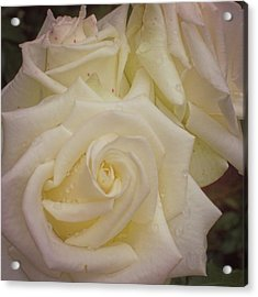 Alabaster Roses Acrylic Print by JAMART Photography