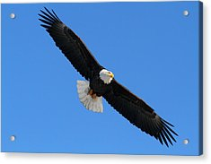 Alaska Bald Eagle Acrylic Print by Doug Lloyd