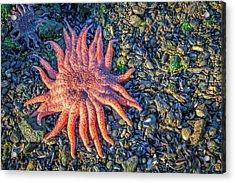 Alaska Starfish Acrylic Print