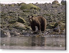Alaskan Brown Bear Dining On Mollusks Acrylic Print