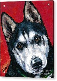 Alaskan Malamute Portrait On Red Acrylic Print by Dottie Dracos