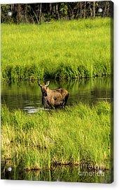 Alaskan Moose Acrylic Print